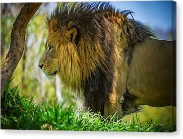 Lion Canvas Print by Matthew Onheiber