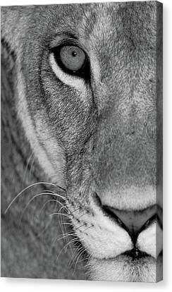 Lioness Canvas Print - Lioness Close-up Tanzania Africa by Panoramic Images