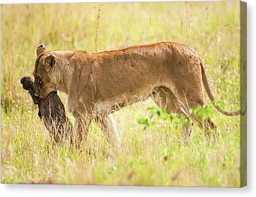 Lioness Panthera Leo Canvas Print by Photostock-israel