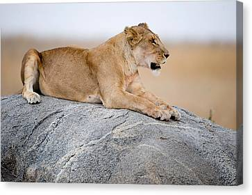 Lioness Panthera Leo Sitting On A Rock Canvas Print