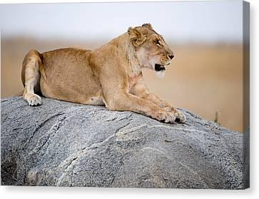 Lioness Panthera Leo Sitting On A Rock Canvas Print