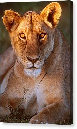 Lioness Tanzania Africa Canvas Print by Panoramic Images