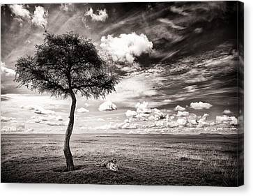Lions In The Shade - Selenium Toned Canvas Print by Mike Gaudaur