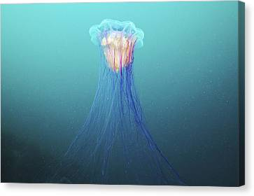 Lion's Mane Jellyfish Canvas Print