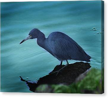 Little Blue Heron Canvas Print by Joseph G Holland