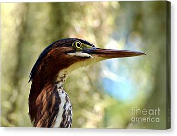 Canvas Print featuring the photograph Little Green Heron Portrait by Kathy Baccari