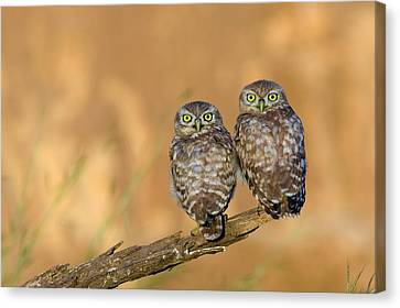 Little Owl Athene Noctua Couple Canvas Print by Photostock-israel