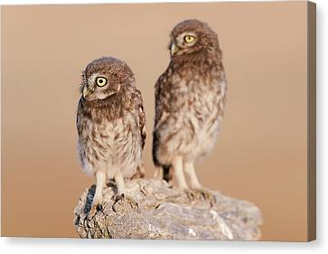 Little Owl Mating Couple Canvas Print by Dr P. Marazzi