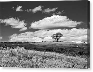 Lone Tree And Sky In Blueberry Field Maine Photograph  Canvas Print by Keith Webber Jr