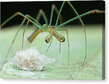 Long-jawed Orb Weaver And Eggs Canvas Print by Melvyn Yeo