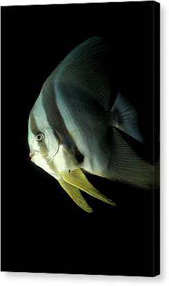 Longfin Spadefish, South Ari Atoll Canvas Print by Steve Jones