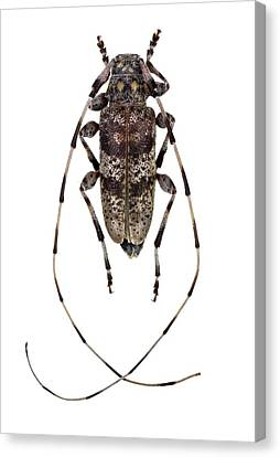 Cut-outs Canvas Print - Longhorn Beetle by F. Martinez Clavel