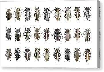 Labelled Canvas Print - Longhorn Beetles by F. Martinez Clavel