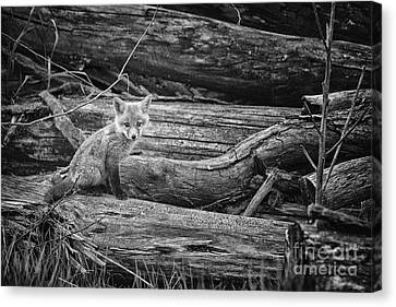 Fox Kit Canvas Print - Looking by Todd Bielby