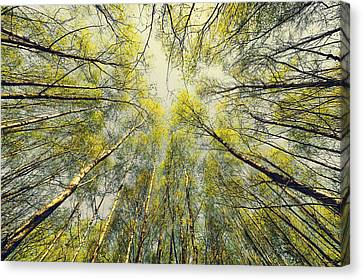 Looking Up Canvas Print by Svetlana Sewell