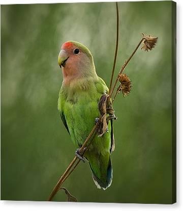 Lovely Little Lovebird  Canvas Print by Saija  Lehtonen