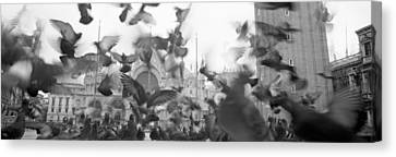 Low Angle View Of A Flock Of Pigeons Canvas Print
