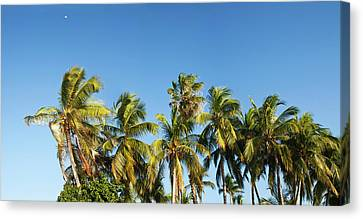 Low Angle View Of Palm Trees Canvas Print by Panoramic Images