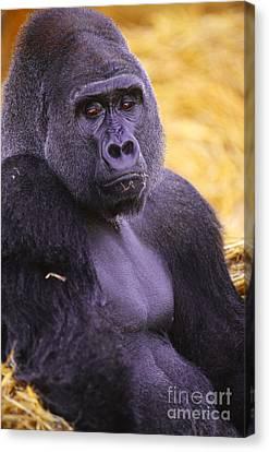 Gorilla Canvas Print - Lowland Gorilla by Art Wolfe