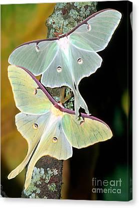 Luna Moths Canvas Print by Millard H. Sharp