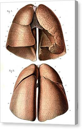 Lung Anatomy Canvas Print by Collection Abecasis