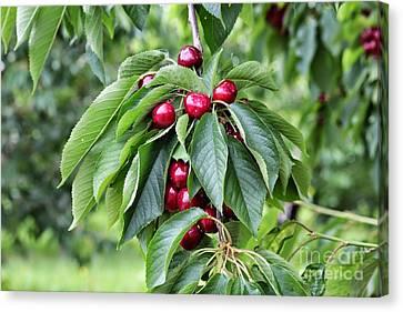 Luscious Cherries Canvas Print by Carol Groenen