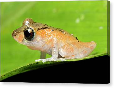 Neotropical Canvas Print - Luscombe's Rain Frog by Dr Morley Read