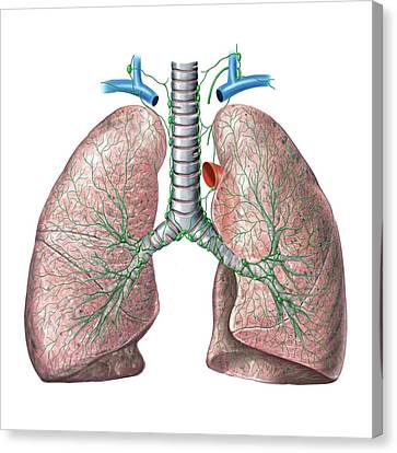 Lymphoid System Of The Lungs Canvas Print