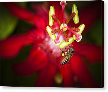 Canvas Print featuring the photograph Macro Photograph Of A Bee Collecting Pollen. by Zoe Ferrie