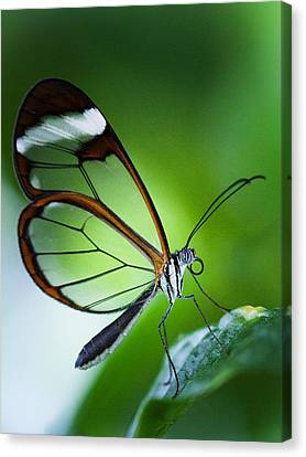Macro Photograph Of A Glasswinged Butterfly Canvas Print