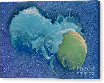 Macrophage Englufing Yeast Cell Canvas Print by Biology Pics