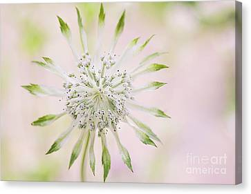 Magical Masterwort Canvas Print by Jacky Parker