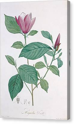 Magnolia Discolor, Engraved By Legrand Canvas Print by Henri Joseph Redoute