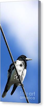 Magpies Canvas Print - Magpie Up High by Jorgo Photography - Wall Art Gallery