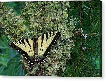 Tiger Swallowtail Canvas Print - Male Canadian Tiger Swallowtail by Darrell Gulin