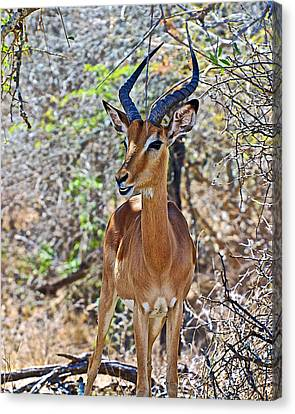 Male Impala In Kruger National Park-south Africa   Canvas Print by Ruth Hager