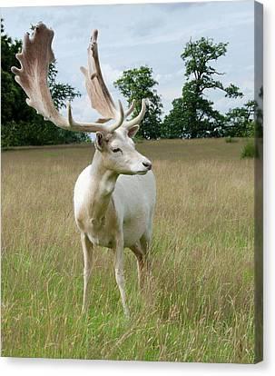 Male White Fallow Deer Canvas Print by Nigel Downer