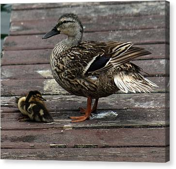 Mama Duck And Ducklings Canvas Print by Pamela Walton