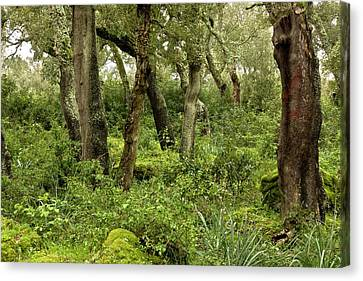 Managed Cork Oak (quercus Suber) Forest Canvas Print by Bob Gibbons