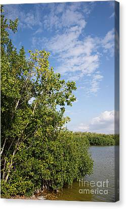 Mangrove Forest Canvas Print by Carol Ailles