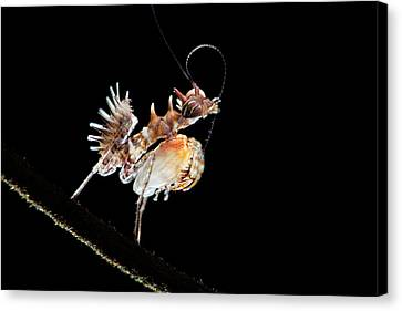Mantis Nymph Canvas Print by Melvyn Yeo