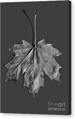 Maple Leaf Canvas Print by Steven Ralser