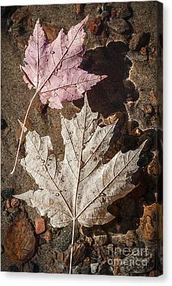 Maple Leaves In Water Canvas Print by Elena Elisseeva