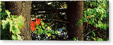 Maple Leaves On Trees, Tolland County Canvas Print by Panoramic Images