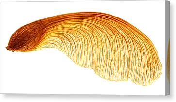 Maple Seed Pod Canvas Print
