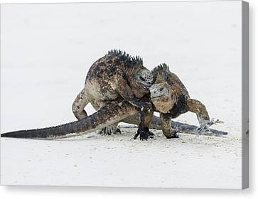 Marine Iguana Males Fighting Turtle Bay Canvas Print