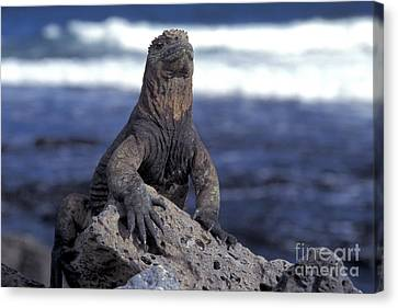 Marine Iguana Canvas Print by Mark Newman