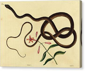 Mark Catesby English, 1679 - 1749, The Coach-whip Snake Canvas Print