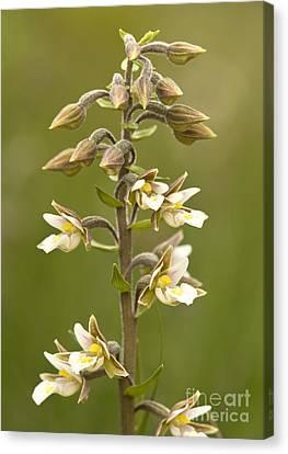 Marsh Helleborine Epipactis Palustris Canvas Print by Bob Gibbons