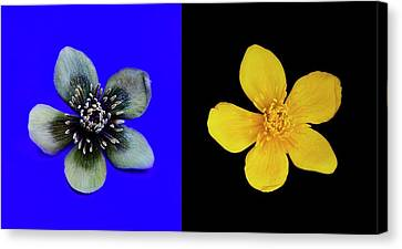 Marsh Marigold In Uv Light And Daylight Canvas Print by Cordelia Molloy